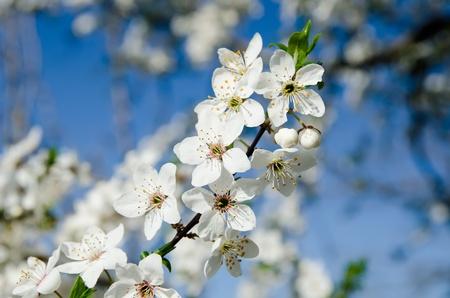 spring white blossom against blue sky photo