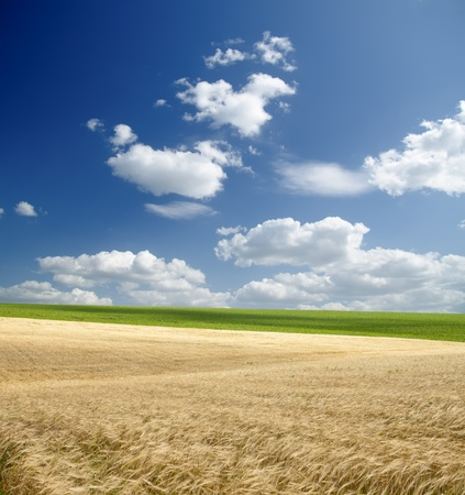 gold ears of wheat under sky Stock Photo - 9470492