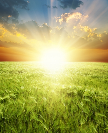 ear of green wheat under sunrays Stock Photo - 9590060
