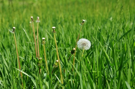 white dandelion on a green meadow photo