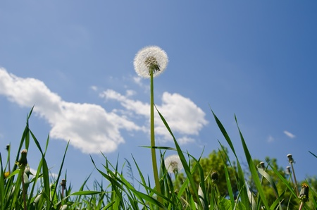 old dandelion in green grass field and blue sky photo