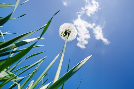 dandelion in green grass and blue sky Stock Photo - 9623562
