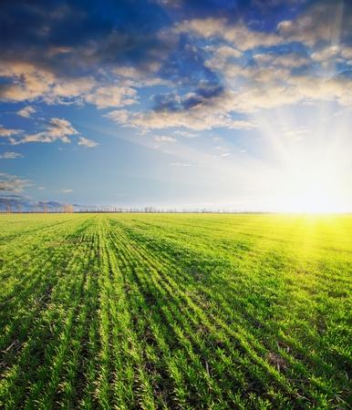 green barley in sunset photo