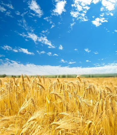 field of wheat under cloudy sky Stock Photo - 9623523