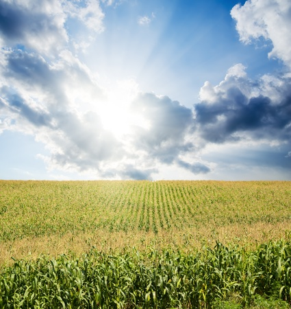 field with green maize under dramatic sky with sun photo