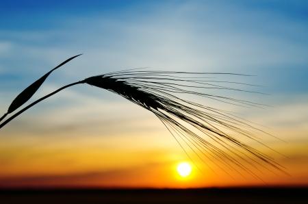 plenty: barley and sunset Stock Photo