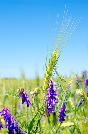 green barley and wild flowers photo