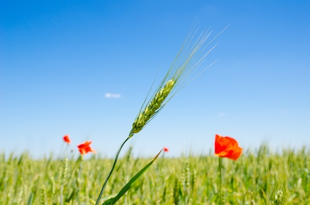 green barley and red poppy photo