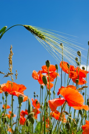 red poppy and green barley photo