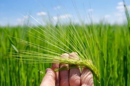 espiga de trigo: verde de cebada en mano Foto de archivo