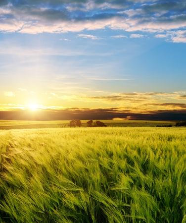 ear of green wheat under sunrays photo