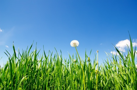 old dandelion in green grass field and blue sky Stock Photo - 9877424