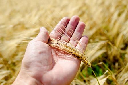 espiga de trigo: cosecha de oro en la mano Foto de archivo