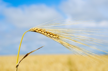 gold ears of wheat close up photo