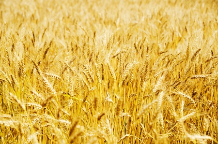 golden barley Stock Photo - 9877493