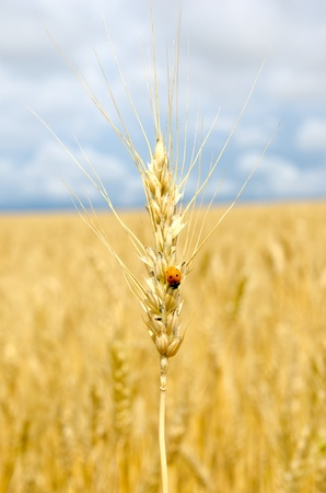 ears of wheat with bug Stock Photo - 9877435