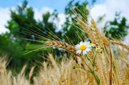 ears of wheat with flowers Stock Photo - 9877436