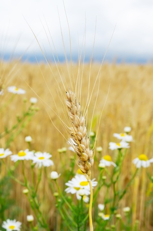 ears of wheat with flowers photo