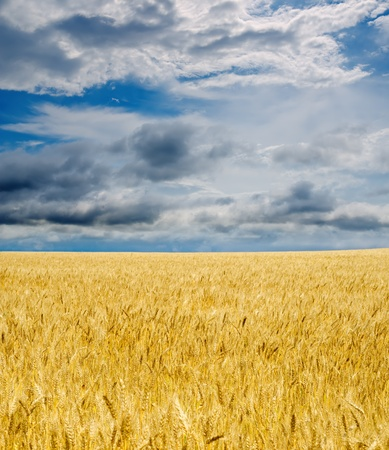 golden field under dramatic sky Stock Photo - 9877502