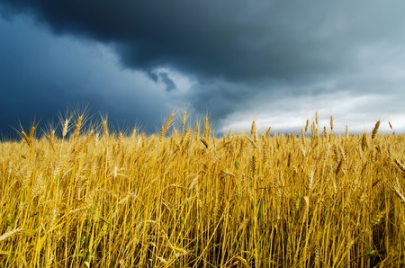 field with barley under dramatic sky Stock Photo - 9877501