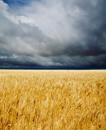 golden field under dramatic sky Stock Photo - 9877450