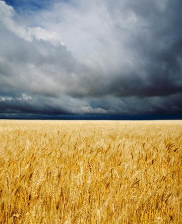 golden field under dramatic sky Stock Photo - 9877450