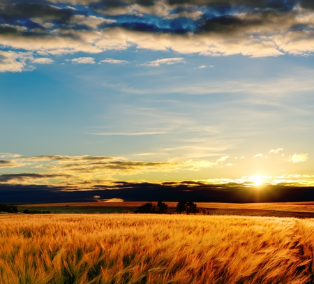 rural scenes: field with gold barley in sunset Stock Photo