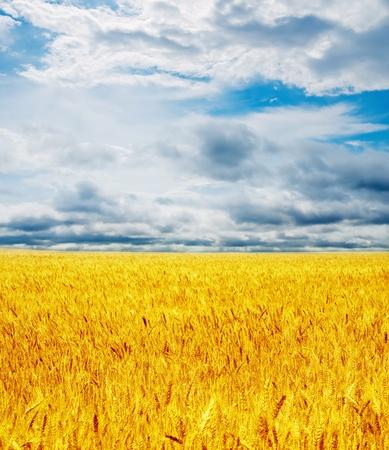 golden field under dramatic sky photo