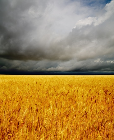 golden field under dramatic sky. rain before Stock Photo - 9877448