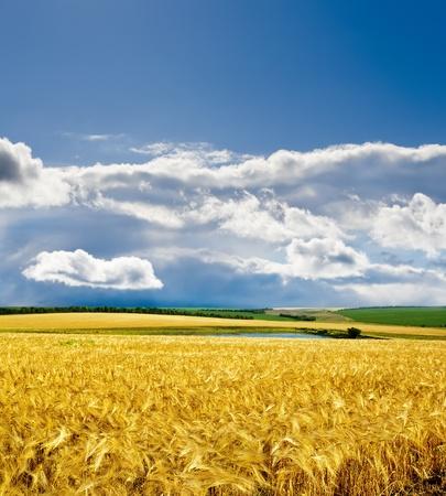 cebada: cebada oro bajo cielo dram�tico Foto de archivo