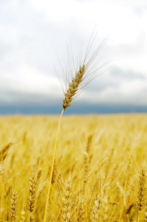 ゴールデンの大麦のフィールド