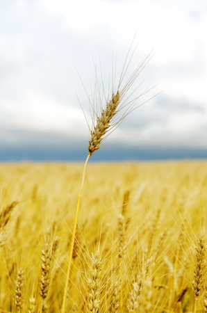 campo de cebada oro