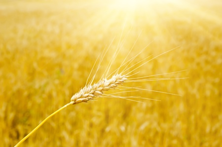 ear of wheat under sunny ray photo