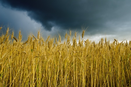 field with barley under dramatic sky Stock Photo