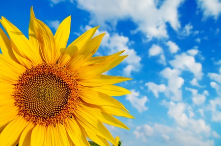 part of sunflower with cloudy sky over it Stock Photo - 10043364