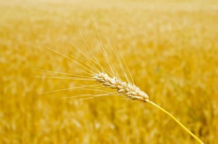 gold wheat photo