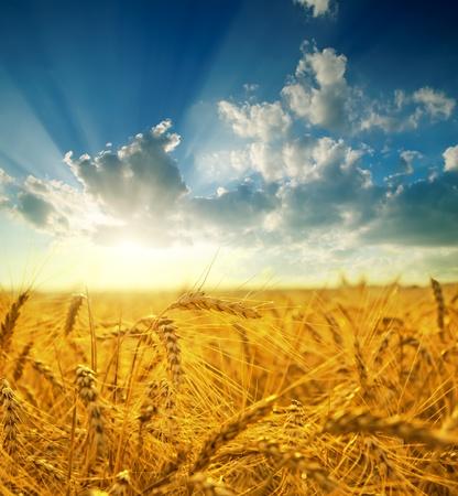 cultivo de trigo: campo con oro espigas de trigo en sunset