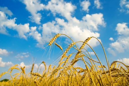 close up of ripe wheat ears against sky. soft focus Stock Photo - 10043360