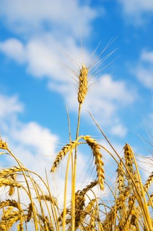 close up of ripe wheat ears against sky. soft focus photo