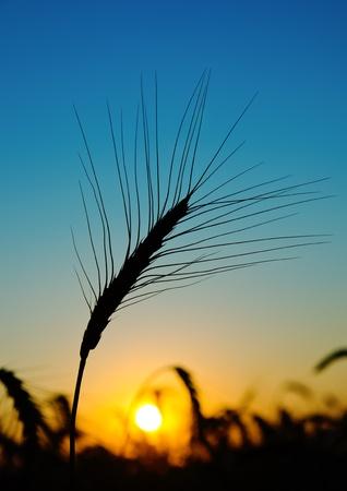 harvest field: golden sunset over harvest field