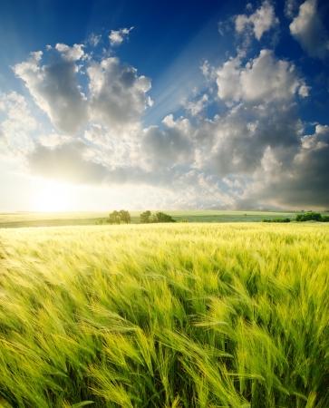 agronomy: green barley under sunrays
