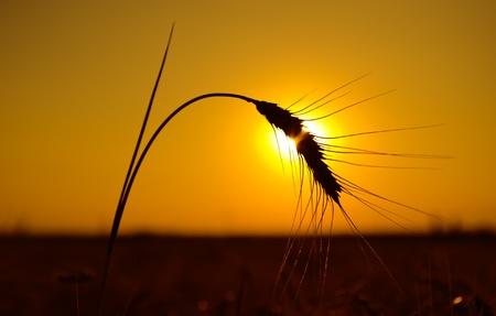 golden sunset over harvest field Stock Photo - 10043327