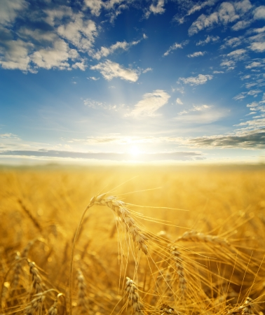 Wheat Harvest: field with gold ears of wheat in sunset