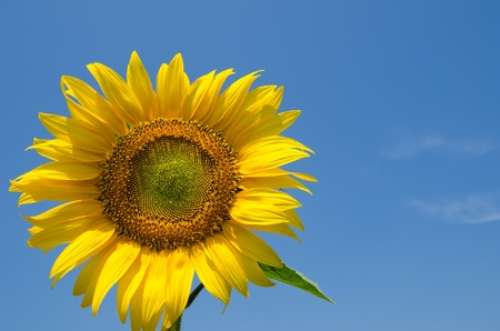 sunflower with sky over it Stock Photo - 10043317