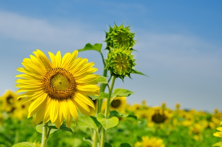 sunflowers with cloudy sky Stock Photo - 10043323