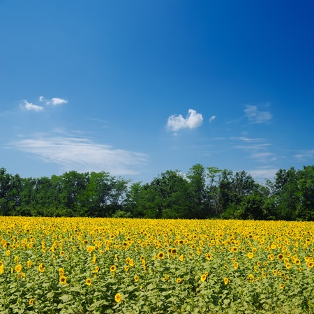 field with sunflowers under blue sky over it photo
