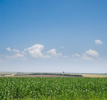 field with green maize under deep blue sky photo