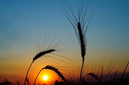 golden sunset over harvest field photo