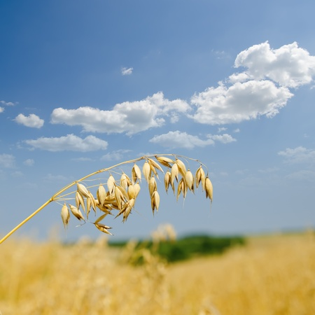 oats: oats closeup under cloudy sky Stock Photo