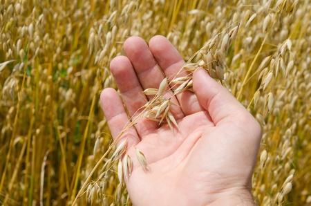 avena: cosecha de oro en la mano Foto de archivo
